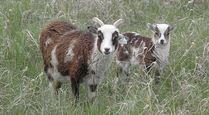 Soay Ewes