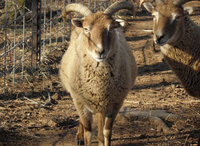 Georgiana | Soay Sheep