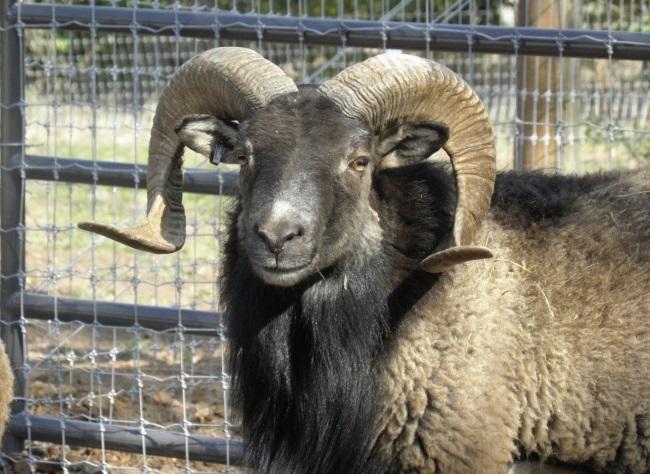 Montana | Soay Ram
